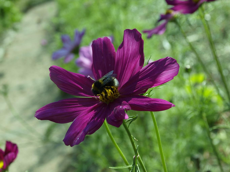 Bilde Humler uklar bakgrunn fiolett blomst Cosmos blomster Nærbilde Bokeh Lilla farge Blomster