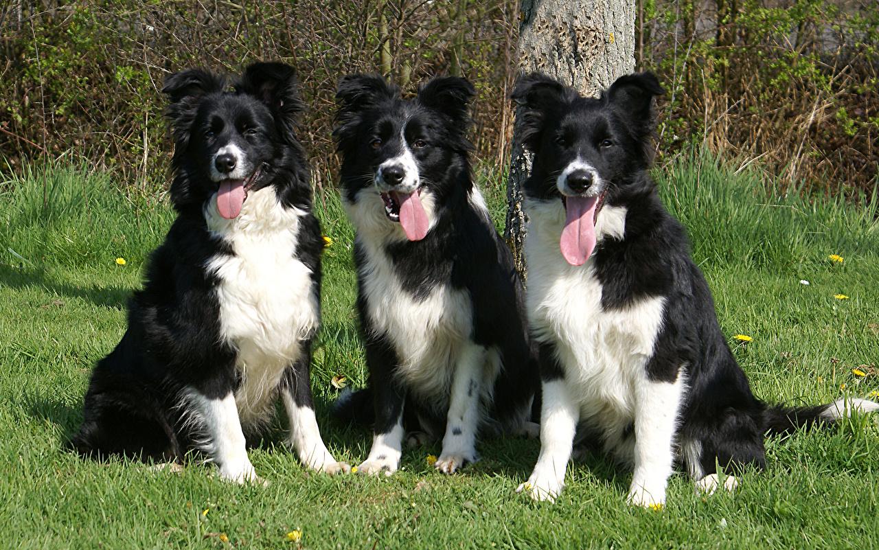 fotos border collie hunde drei 3 ein tier