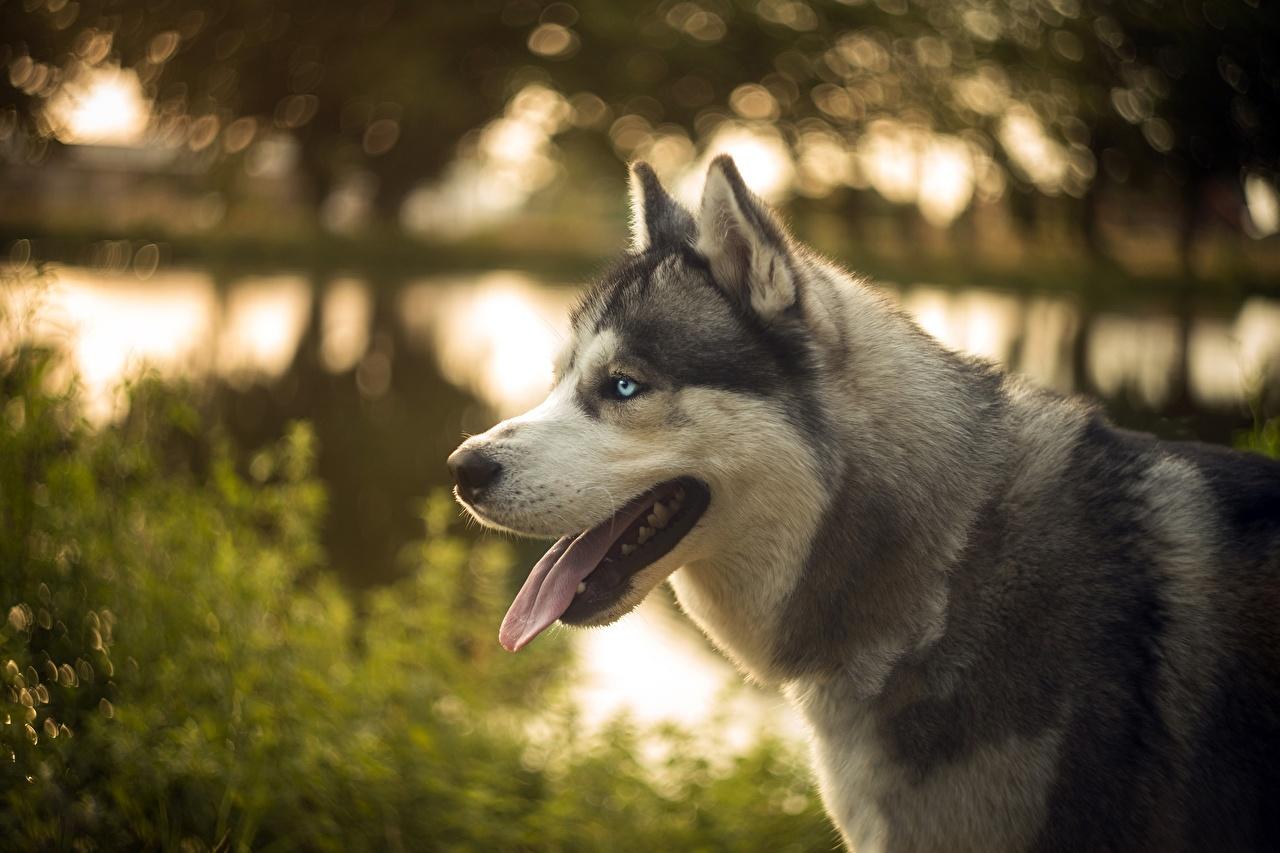 Cão Husky siberiano Língua animalia, um animal, cães, cachorro Animalia