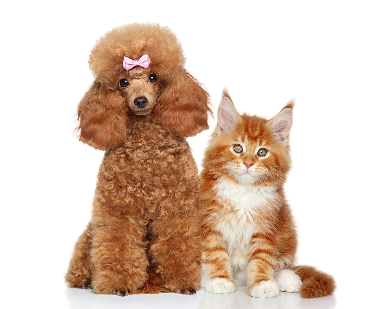 Photos Poodle dog Cats 2 red orange Bowknot animal cat Dogs Two Ginger color bow knot Animals