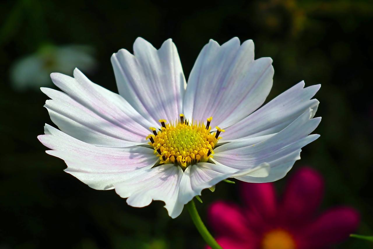 Bilder unscharfer Hintergrund Weiß Blumen Schmuckkörbchen hautnah Bokeh Blüte Kosmeen Nahaufnahme Großansicht