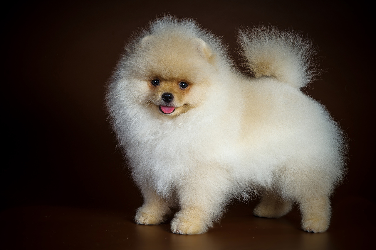 Fotos Spitz Hunde Tiere