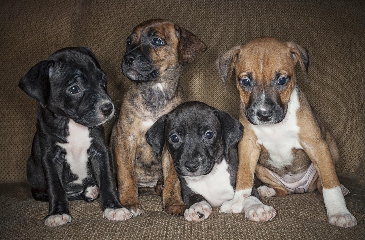 Images Amstaff puppies dog animal