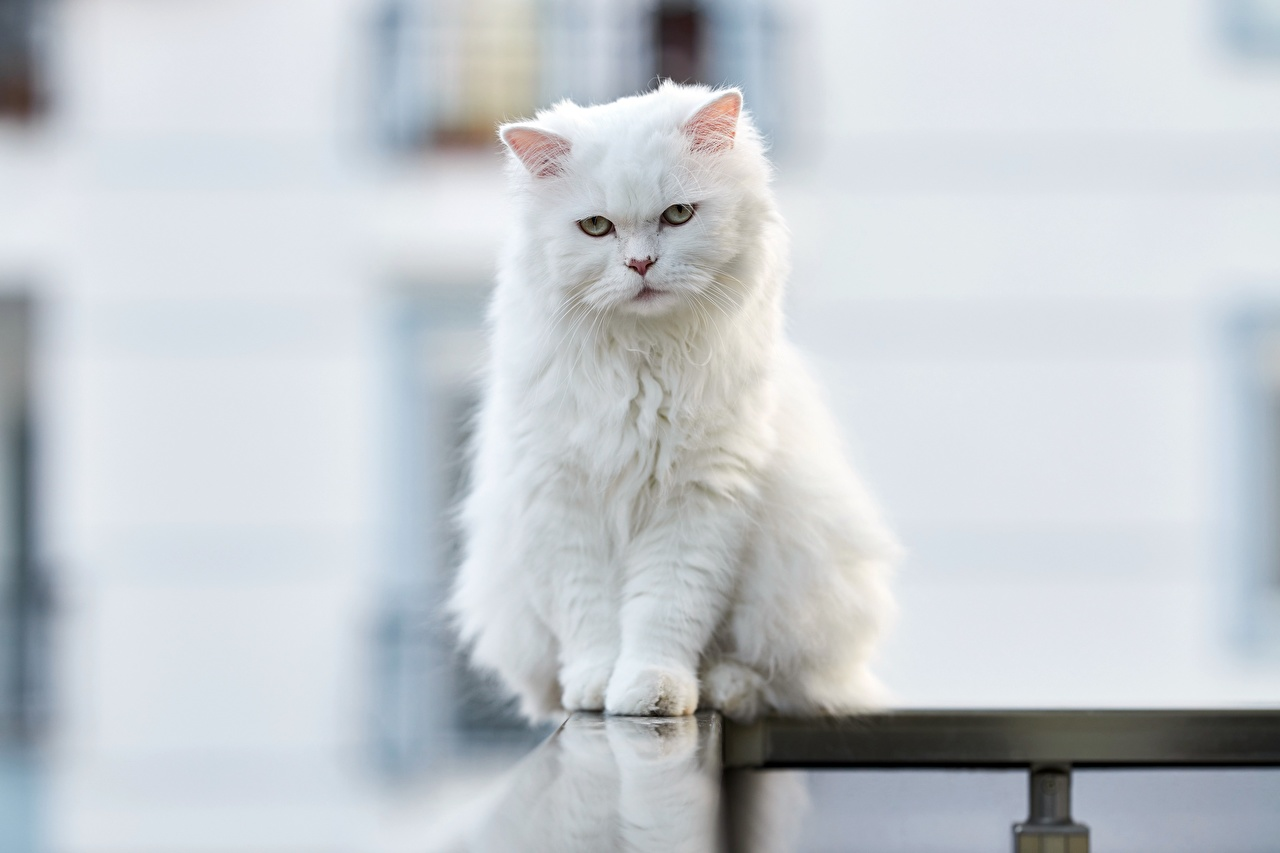 Photo cat Bokeh White sit Staring Animals Cats blurred background Sitting Glance animal