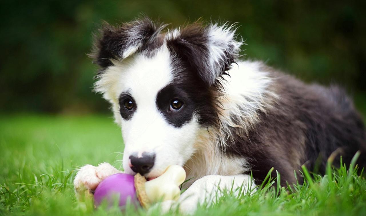 bilder welpen border collie hunde gras tiere