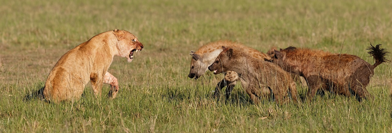Picture lion Hyenas Big cats Fight Grass animal Lions Animals