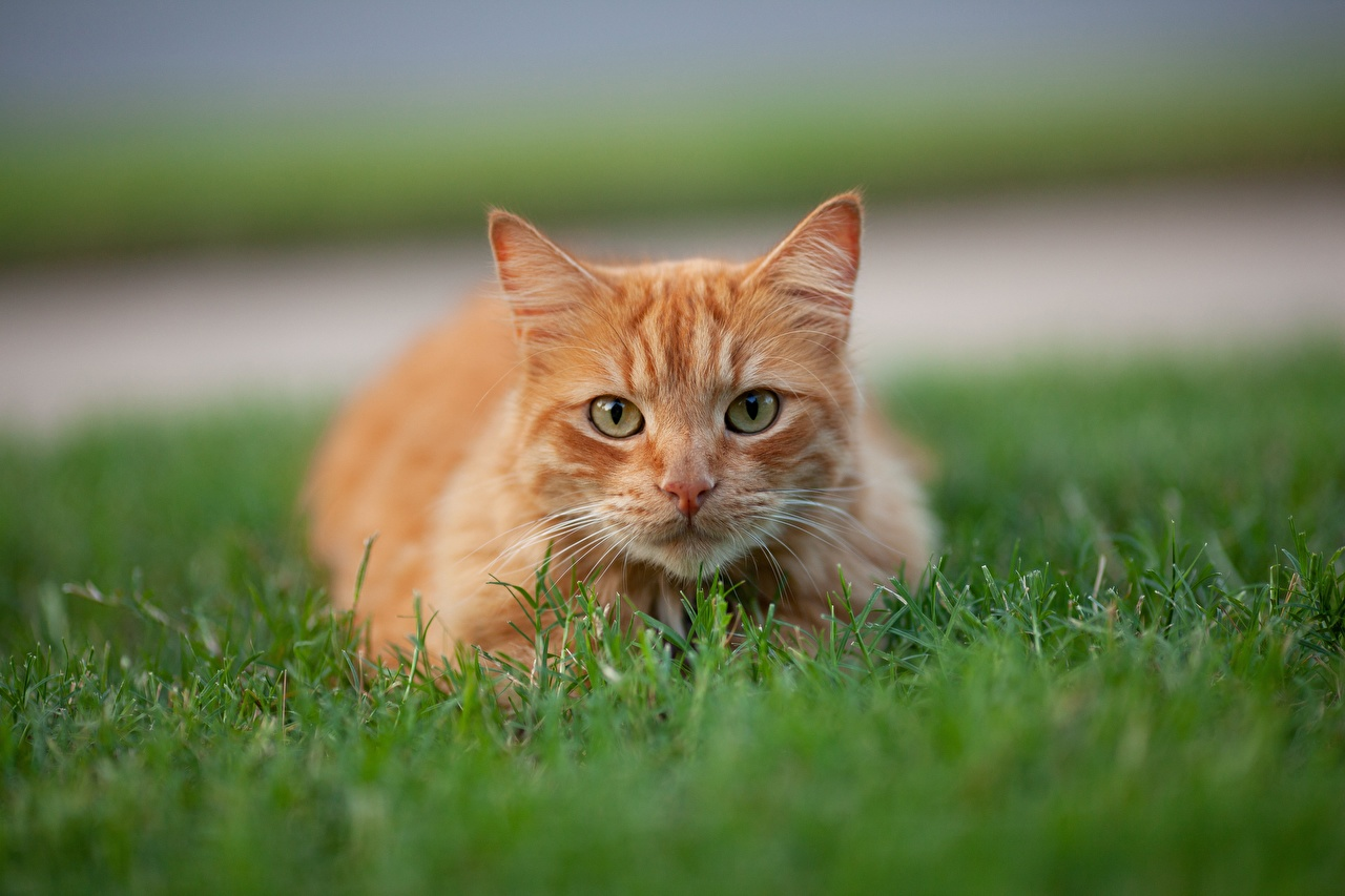 Desktop Hintergrundbilder Katzen unscharfer Hintergrund orange rot Gras Tiere Starren Katze Hauskatze Bokeh Fuchsrot ingwer farbe Blick ein Tier