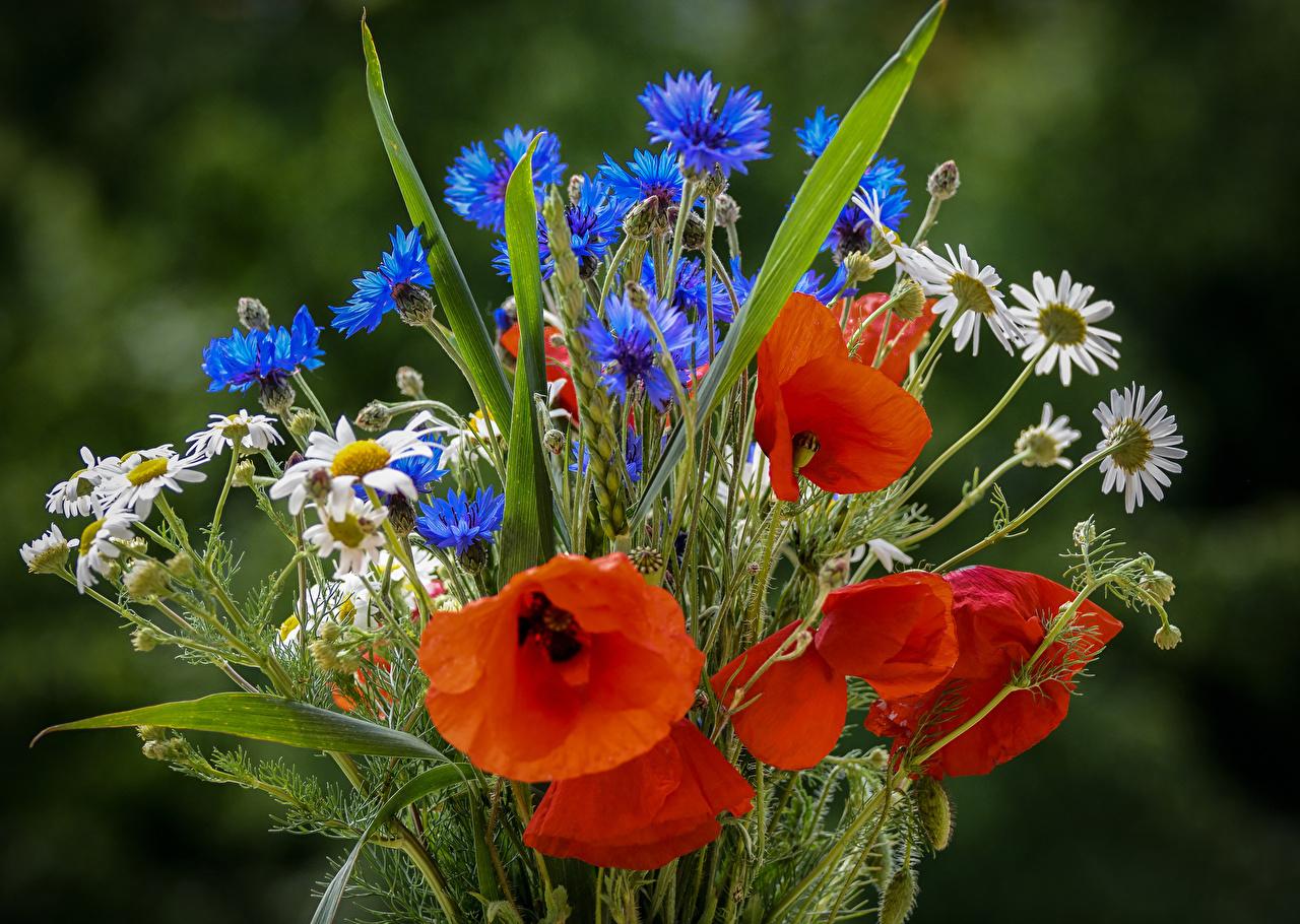 Pictures bouquet flower Poppies matricaria Cornflowers Bouquets papaver Flowers Camomiles Centaurea
