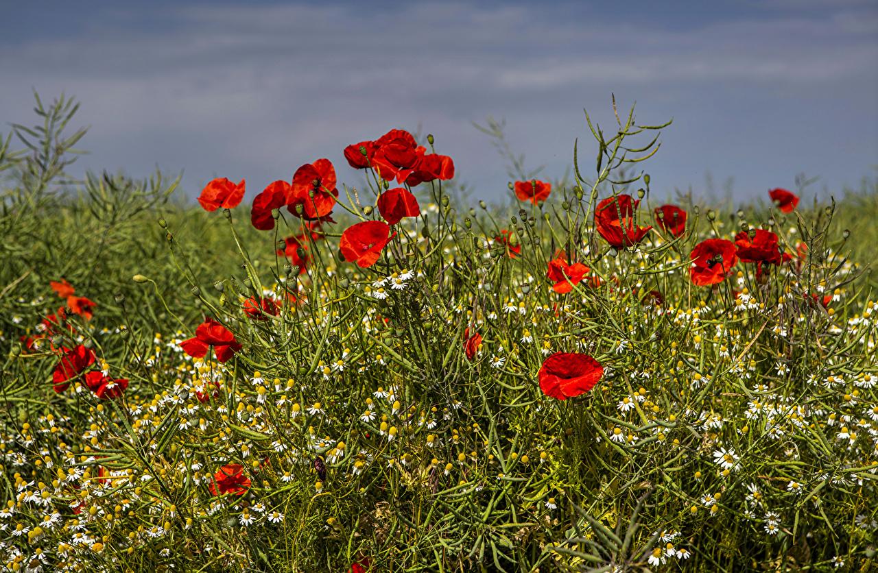 Fotos Sommer Mohn Blumen