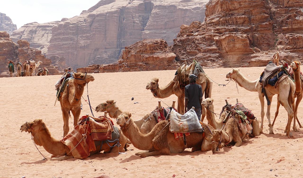Desktop Hintergrundbilder Kamele Wadi-Rum, Jordan Wüste Sand Tiere ein Tier