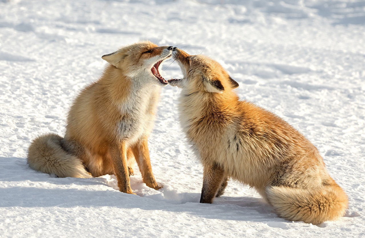 Photos Foxes Funny 2 Snow animal Two Animals