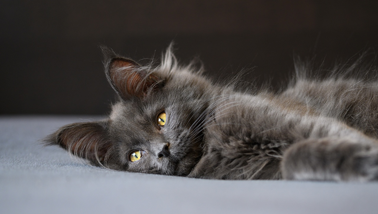 Desktop Wallpapers Maine Coon cat esting Grey Fluffy animal Staring Cats laying Lying down gray Glance Animals
