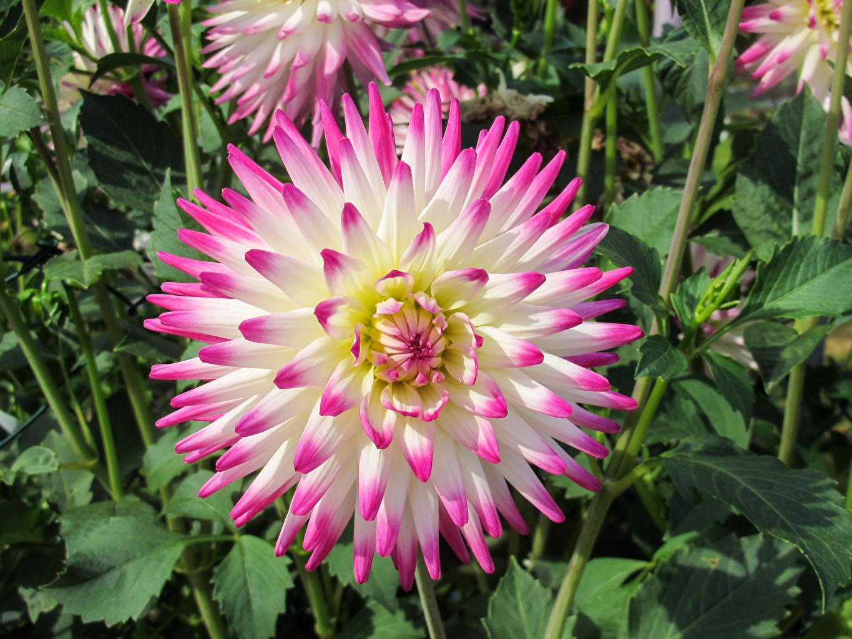 Achtergrond Dahlia Bloemen van dichtbij bloem Close-up