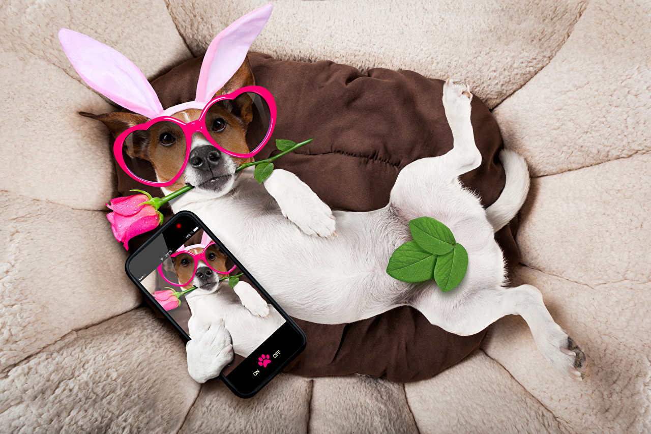 Wallpaper Jack Russell terrier Dogs Leaf smartphones Funny Rabbit ears rose Glasses Animals dog Foliage Smartphone Roses eyeglasses animal
