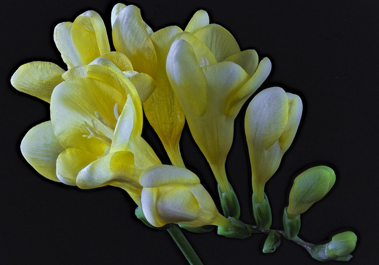 Foto Gelb Blumen Freesie hautnah Schwarzer Hintergrund Blüte Freesien Nahaufnahme Großansicht