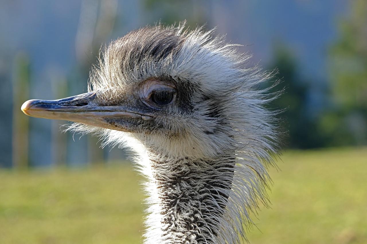 Wallpaper Birds Ostriches blurred background Beak Head Closeup Animals bird ostrich Bokeh animal