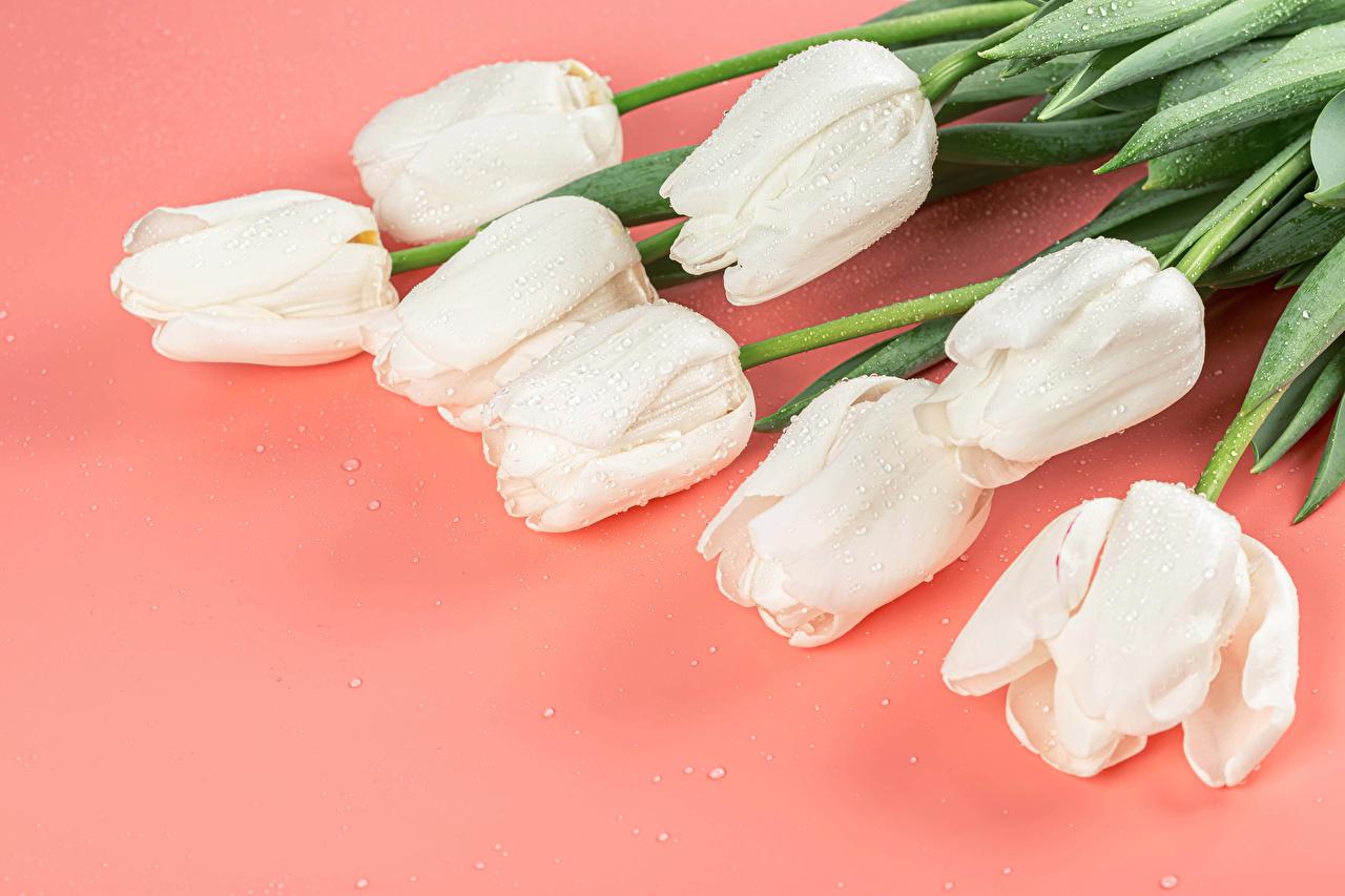 Bilder hvite Tulipaner Dråpe blomst Farget bakgrunn Hvit tulipanslekta Dråper Blomster