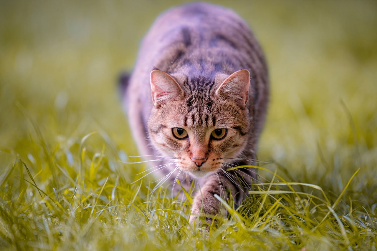 Images cat hunt Grass Glance Animals Cats Hunting animal Staring