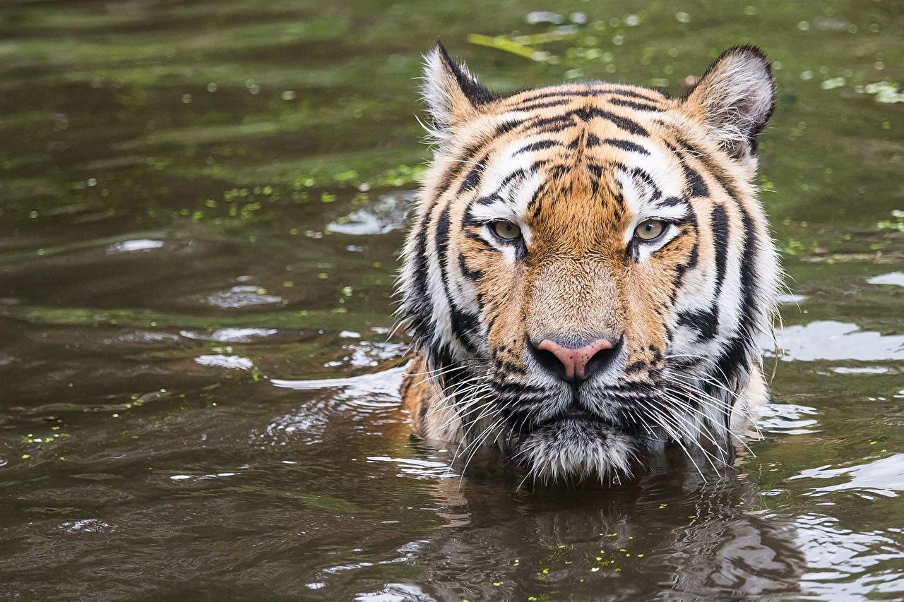 Fotos Tiger Wasser Kopf Tiere Starren Blick ein Tier