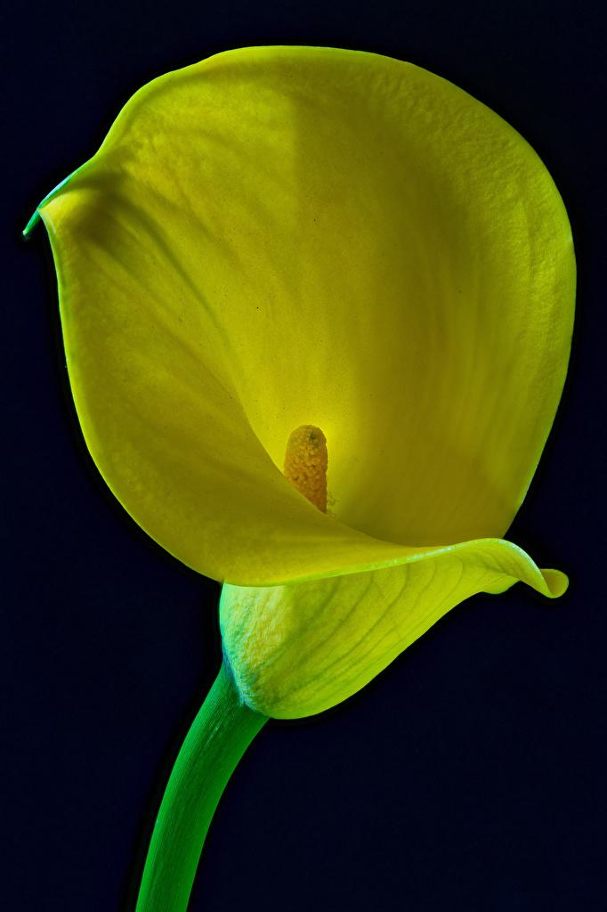 Callas De perto Fundo preto Amarelo flor, lírios de calla Flores para celular Telemóvel