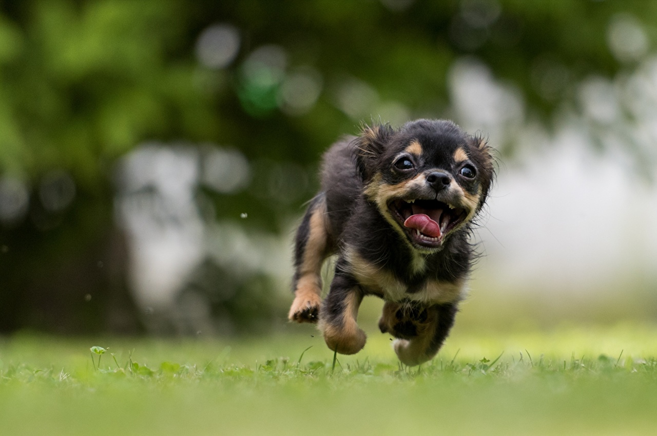 Image puppies Dogs Run Funny Bokeh Tongue animal Puppy dog Running blurred background Animals