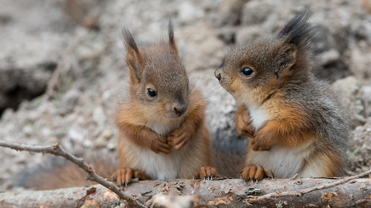 Wallpaper Squirrels Rodents Cubs Two animal 2 Animals