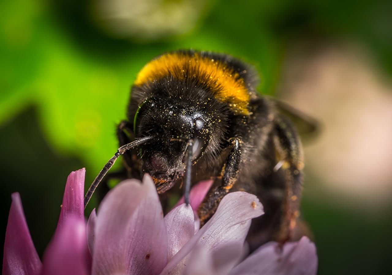Wallpaper Insects Bumblebee blurred background Macro photography Closeup Animals Bokeh Macro animal