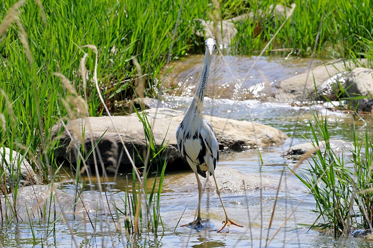Bilder von Vögel Reiher Grey Heron Gras Stein Wasser Tiere Vogel Steine ein Tier