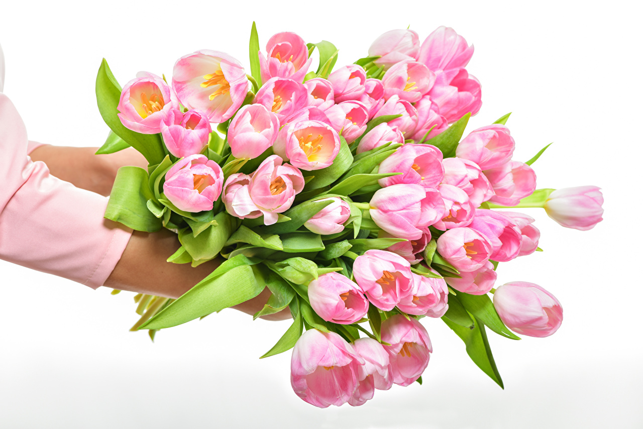 Images Tulips Pink color Flowers Many White background