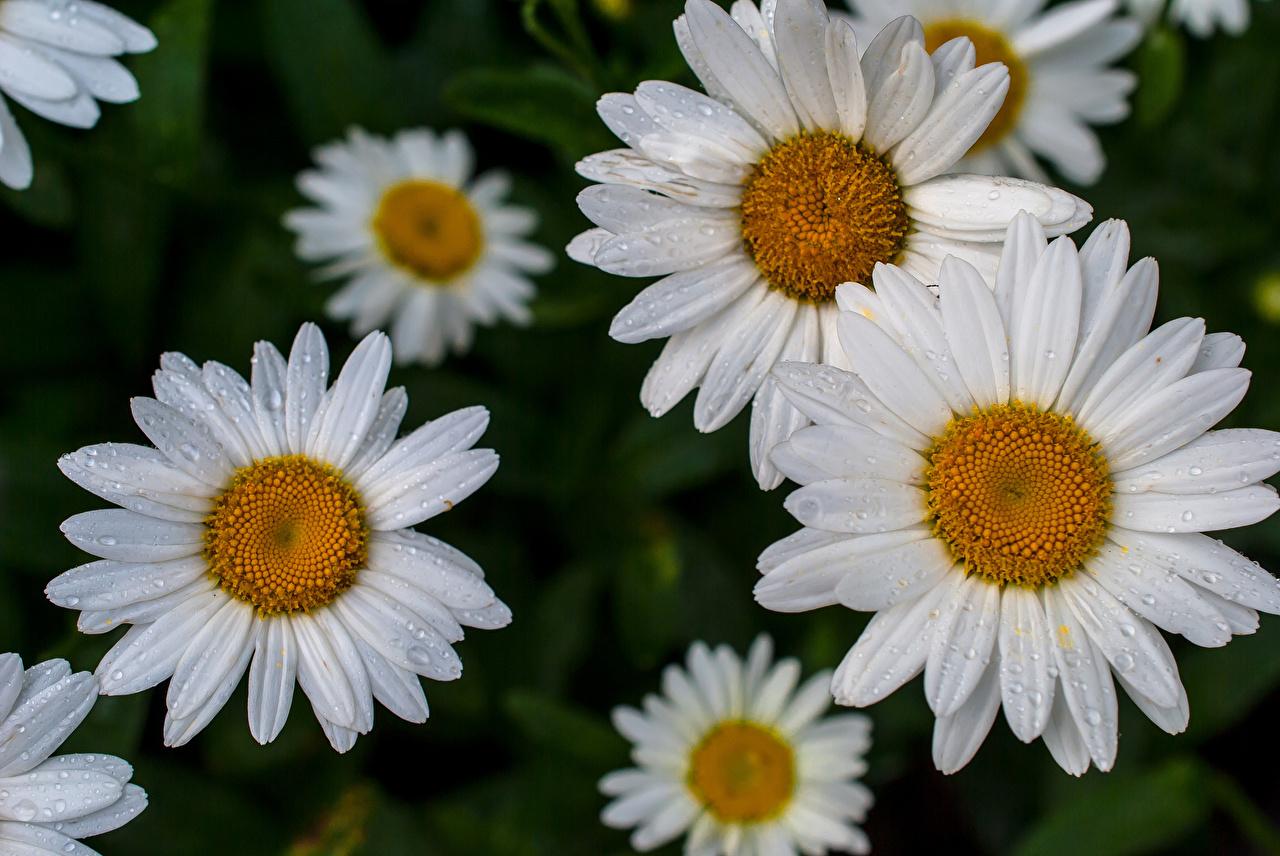 Photo Flowers Camomiles Many Closeup