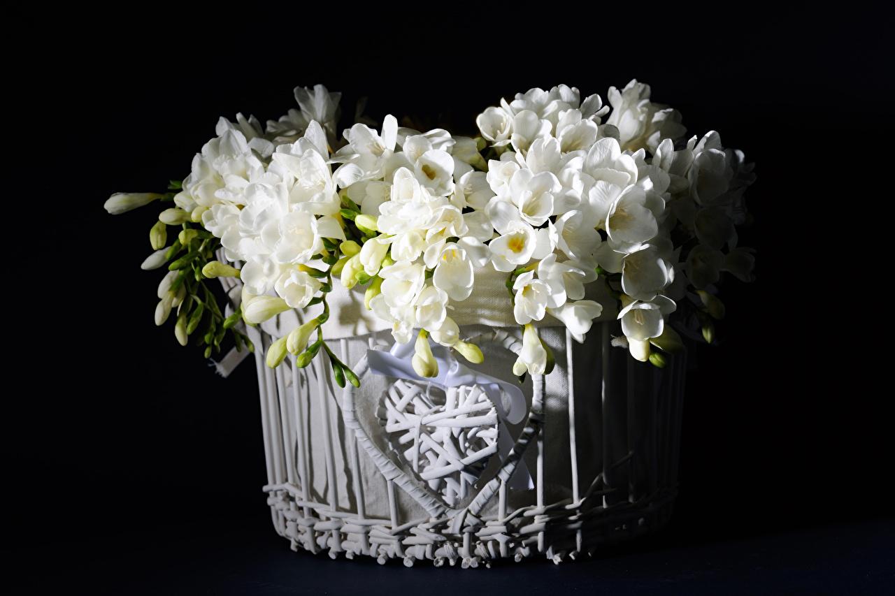 Desktop Hintergrundbilder Weiß Blumen Freesie Weidenkorb Knospe Schwarzer Hintergrund Blüte Freesien Blütenknospe