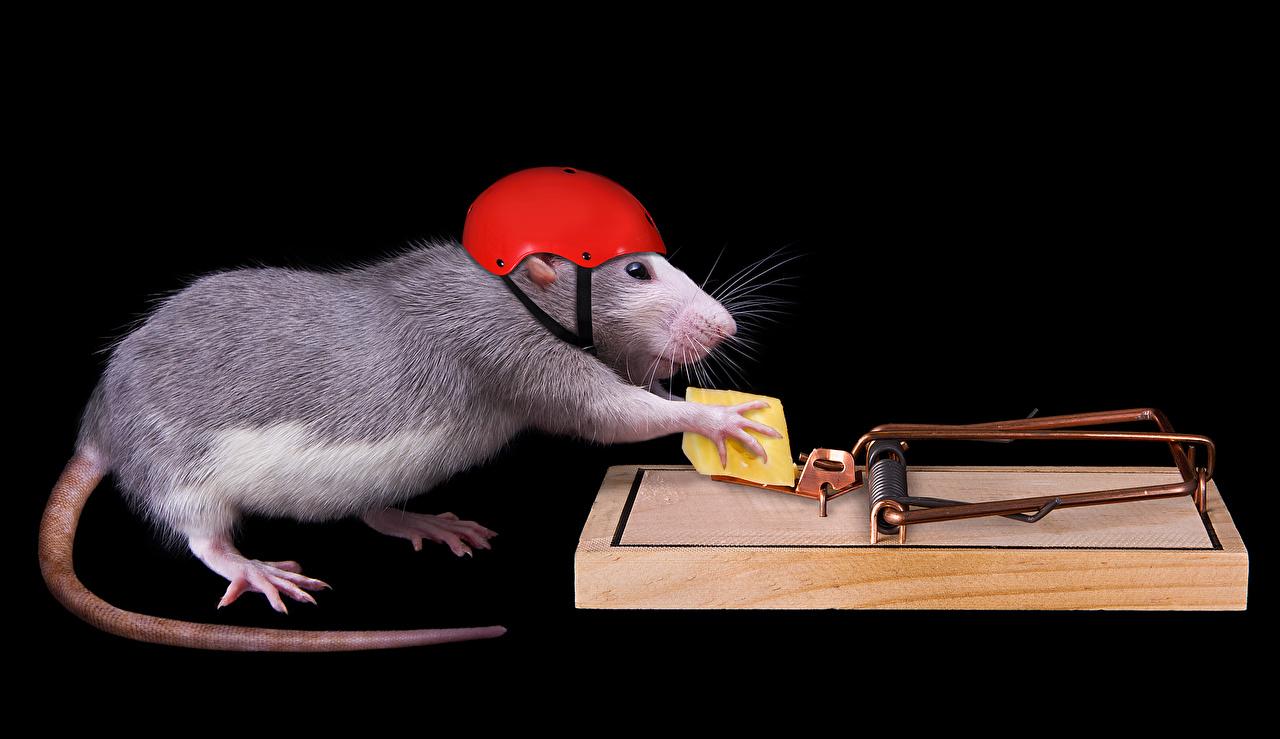 Fotos von Ratten Helm Käse Schwanz Kreativ Tiere Schwarzer Hintergrund