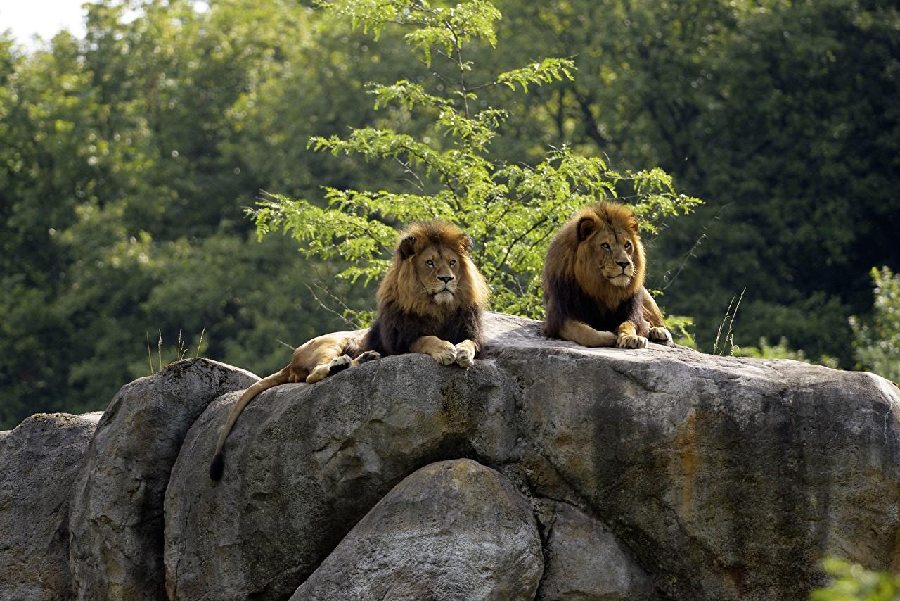 Afbeeldingen leeuw Pantherinae Twee 2 Stenen Dieren Leeuwen steen een dier