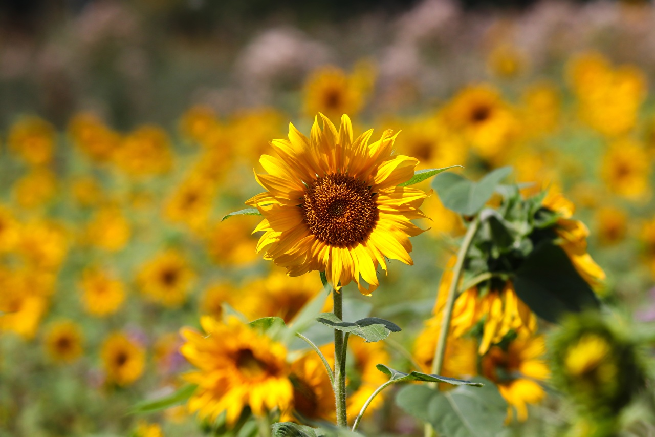 Wallpaper blurred background Yellow flower Helianthus Bokeh Flowers Sunflowers