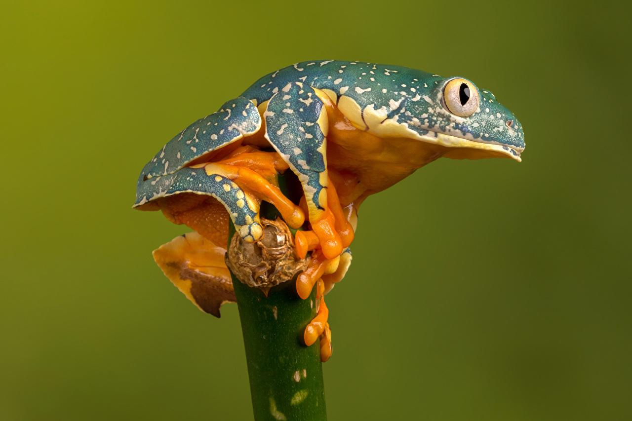 壁紙 カエル Fringed Leaf Frog 色の背景 動物 ダウンロード 写真