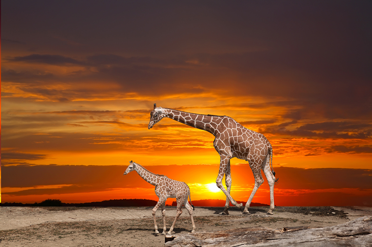 Picture giraffe Cubs 2 sunrise and sunset Animals Giraffes Two Sunrises and sunsets animal