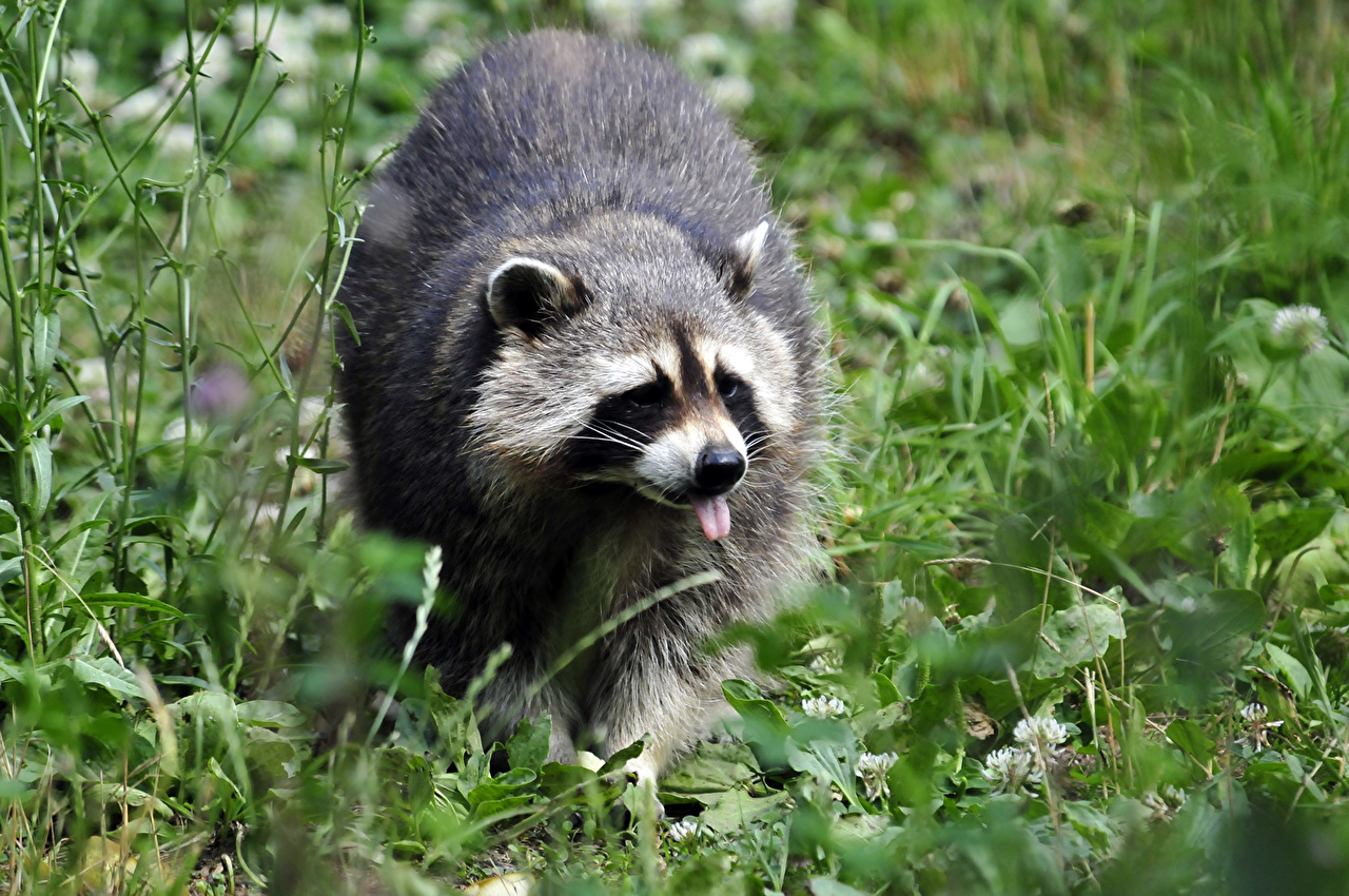 Pictures Raccoons Grass Animals animal