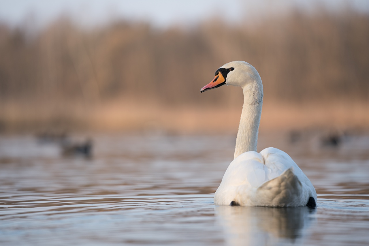 Photos swan Birds blurred background White Back view animal bird Swans Bokeh Animals