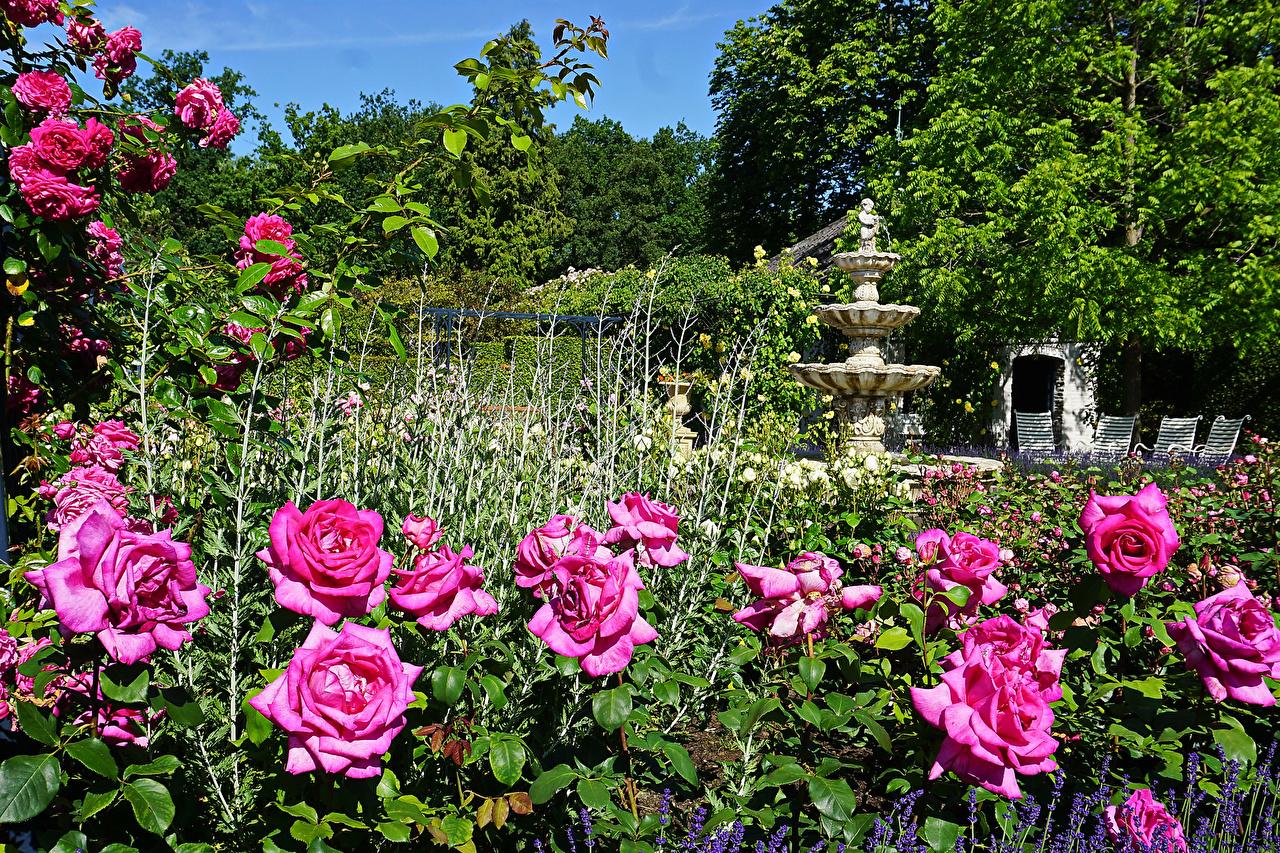 Holanda Parque Rosas Esculturas Arcen Limburg Arbusto parques, rosa, Países Baixos Naturaleza