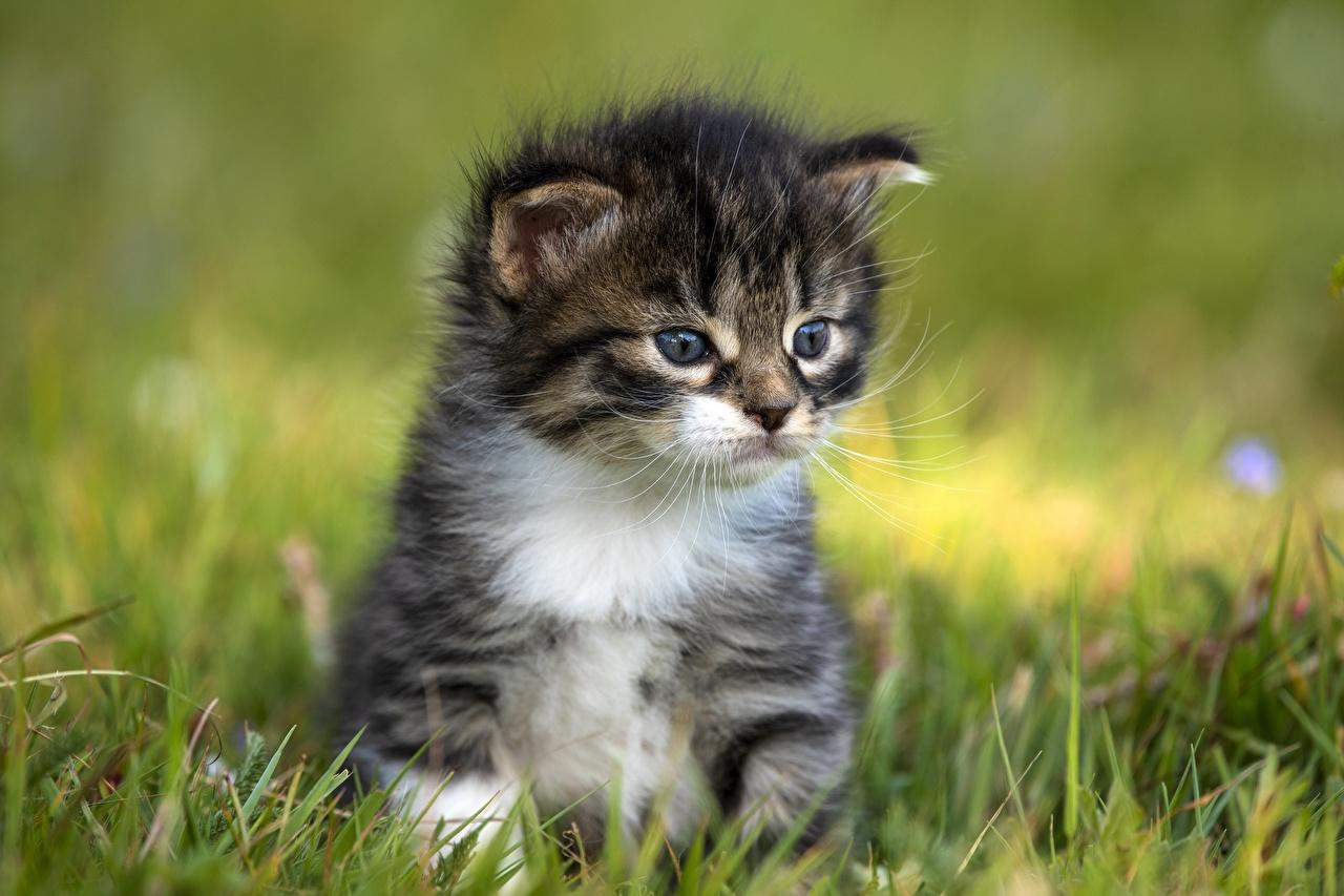 Fotos von Katzenjunges Hauskatze Bokeh Gras Tiere Kätzchen Katze Katzen unscharfer Hintergrund ein Tier
