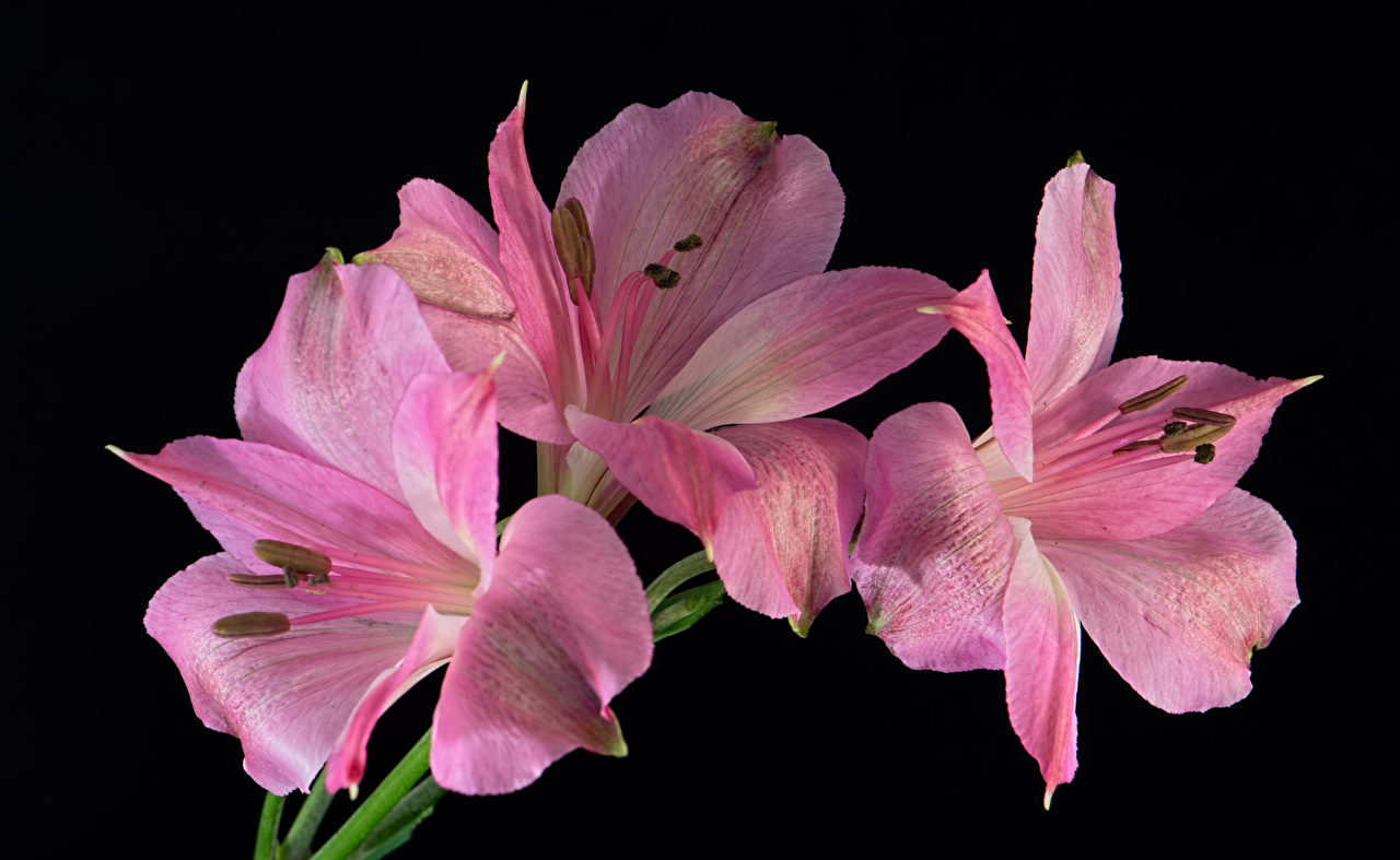 Fotos Rosa Farbe Blumen Alstroemeria Nahaufnahme Schwarzer Hintergrund Blüte Inkalilien hautnah Großansicht