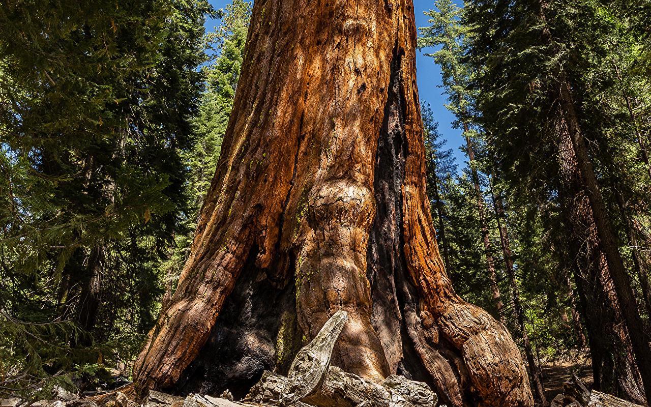 、森林、redwood sequoia、木、木の幹、自然、