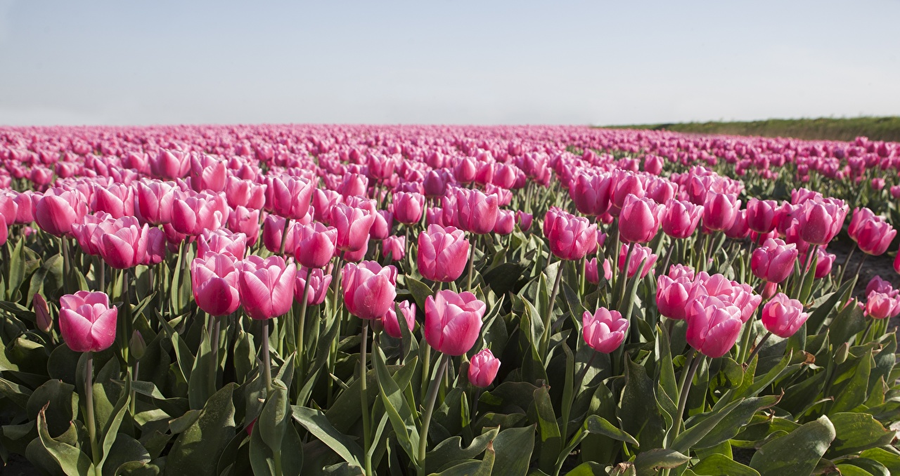 Image Tulips Pink color Fields flower Many tulip Flowers