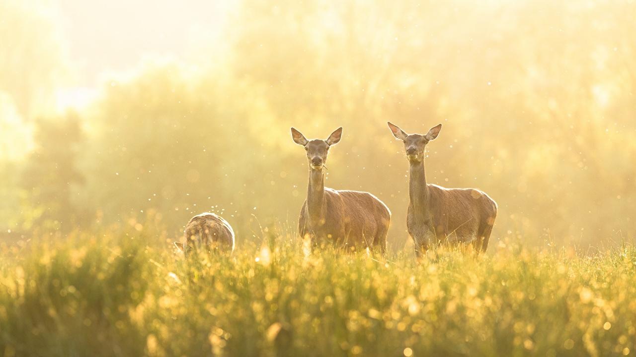 Images Deer Grass animal Animals