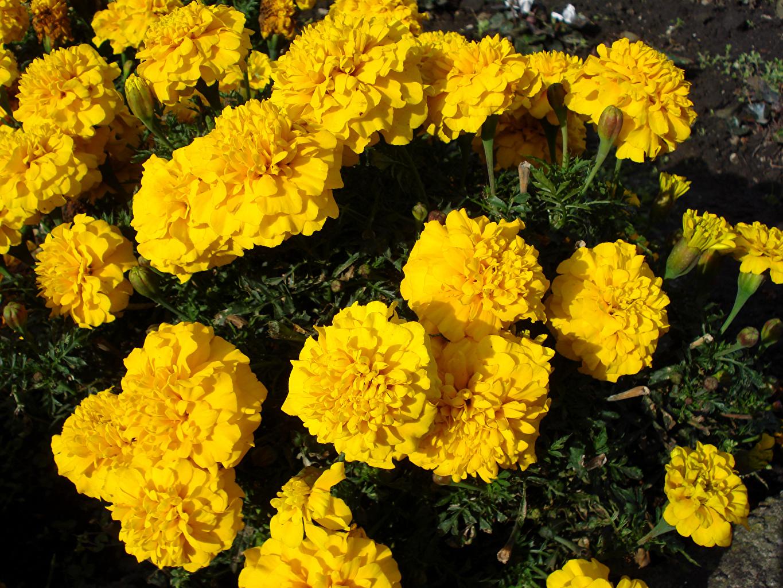 Desktop Wallpapers Yellow Tagetes Flowers Closeup flower