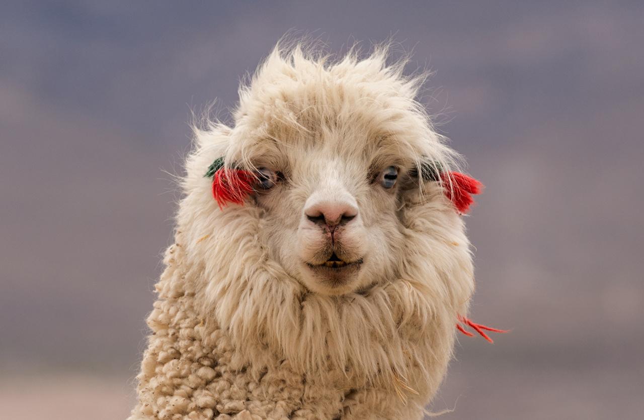 Picture Llama Snout Head Closeup Animals Lama animal
