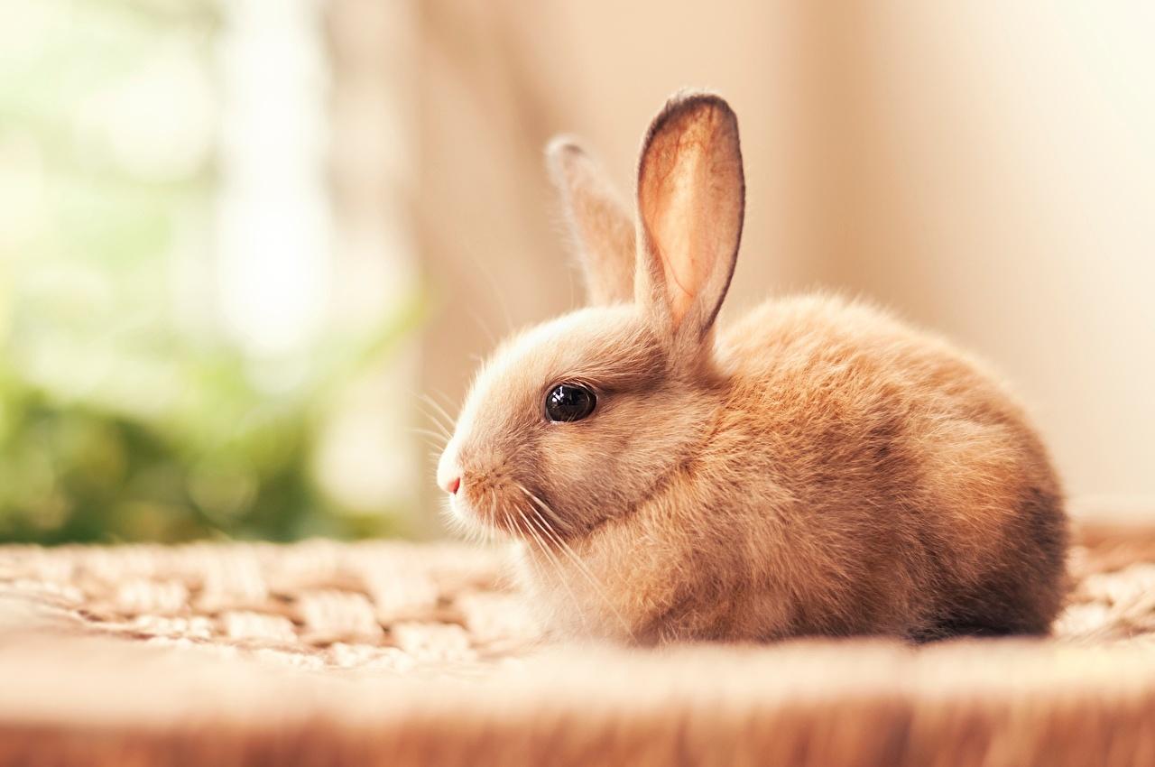 壁紙 ウサギ 美しい 動物 ダウンロード 写真