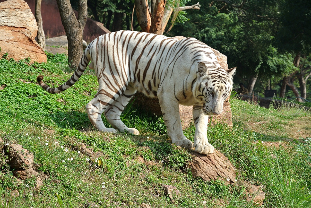 Picture Tigers White Bengal Tiger Grass Animals tiger animal
