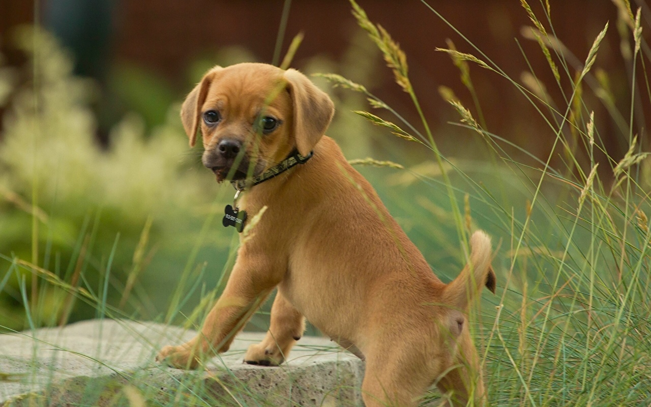 Pictures Pug Puppies Dogs Grass Animals