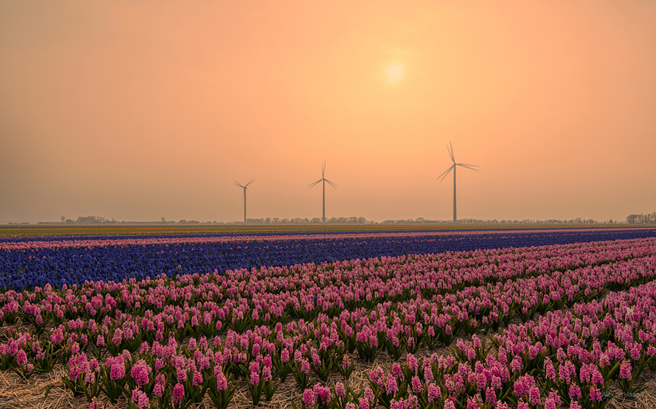 Picture Netherlands Nature Fields Flowers Sunrises and sunsets Hyacinths Many flower sunrise and sunset